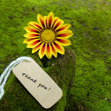 Thank you background, daisy flower. Thank you background on green moss, message for gratitude, beautiful colorful daisy flower on green background with thankyou stock images