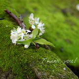 Thank you background, white flower. Thank you background on green moss, message for gratitude, beautiful white plum flower on green background with thankyou text stock photography