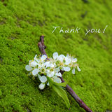 Thank you background, white flower. Thank you background on green moss, message for gratitude, beautiful white plum flower on green background with thankyou text royalty free stock images