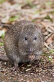 Thanks For That. A Long Nosed Potoroo greedily eats some pellets that I threw to it royalty free stock photos