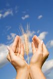 Thanksgiving. Woman hands holding corns against blue sky - thanksgiving, praying and mother nature concept Stock Photos