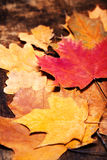 Thanksgiving Autumn Fall background with colorful  leaves over r Stock Images