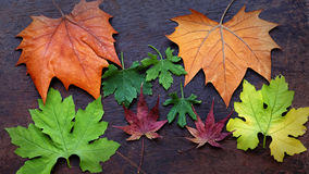 Thanksgiving background with colorful maple leaf. On wood background, nice leaves in autumn season Royalty Free Stock Image