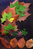 Thanksgiving background with colorful maple leaf. On wood background, nice leaves in autumn season Royalty Free Stock Images