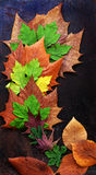 Thanksgiving background with colorful maple leaf. On wood background, nice leaves in autumn season Stock Photography