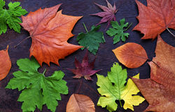 Thanksgiving background with colorful maple leaf. On wood background, nice leaves in autumn season Stock Image