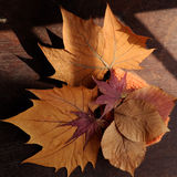 Thanksgiving background with dried maple leaf. On wood background, nice leaves in autumn season Stock Images