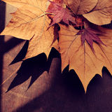 Thanksgiving background with dried maple leaf. On wood background, nice leaves in autumn season Stock Photography