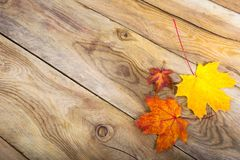 Thanksgiving background with three fall maple leaves, copy space. Happy Thanksgiving greeting background with red, orange and yellow fall maple leaves, copy royalty free stock images