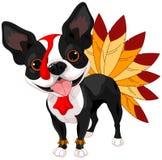 Thanksgiving Boston Terrier Royalty Free Stock Image