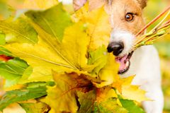 Thanksgiving concept with dog and autumn maple leaves. Jack Russell Terrier dog fetches fall bouquet Royalty Free Stock Photos