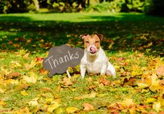 Thanksgiving concept with dog on fall leaves and plate with `thanks` word on it
