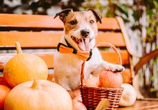 Thanksgiving concept with dog in festive bow tie next to harvest of autumn fruits