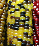 Thanksgiving Corn. Native American Maize (corn) used for decoration during the American Thanksgiving and Christmas holidays Royalty Free Stock Images