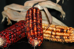 Thanksgiving Corn Cobs. Three corn cobs on black Royalty Free Stock Photo