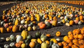 Thanksgiving de Half Moon Bay la Californie les potirons sont ici images stock