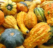 Thanksgiving Gourds. A nice selection of gourds to decorate the table for Thanksgiving royalty free stock image