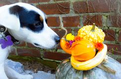 Thanksgiving Dog sniffs Pumpkin and Flower Centerpiece. Thanksgiving dog sniffs an autumn decoration Centerpiece - pumpkins are safe for dogs by the flowers are Stock Photography
