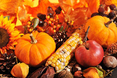 Thanksgiving. Pumpkin, apples, nuts, maize and berries in front of highlighted maple foliage Royalty Free Stock Image
