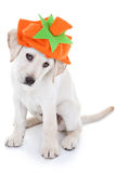 Thanksgiving Pumpkin Dog Royalty Free Stock Photography