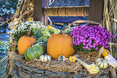 Thanksgiving Pumpkin Patch Royalty Free Stock Photo