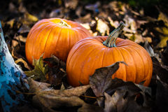 Thanksgiving Pumpkins Royalty Free Stock Photo