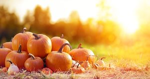 Thanksgiving - Ripe Pumpkins In Field royalty free stock photo