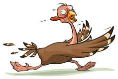 Thanksgiving turkey runs Stock Photos