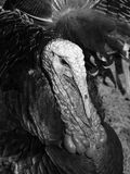 Thanksgiving Turkeys Stock Photography