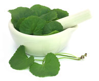 Thankuni leaves with mortar and pestle stock photography