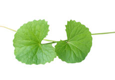 Thankuni leaves. Over white background Royalty Free Stock Images