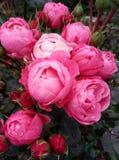 Thantau玫瑰 库存照片