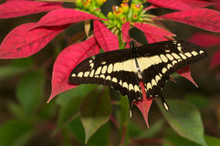 Thaos Butterfly Royalty Free Stock Photos