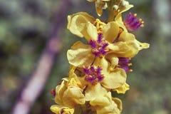 Thapsus di Verbaskum del fiore Fotografia Stock