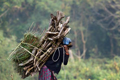 Tharu woman carrying wood to cook. Royalty Free Stock Photo