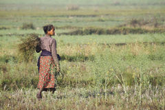 Tharu woman working in rice fields in Nepal Royalty Free Stock Image