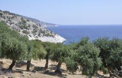 Thassos, 8月19日:从Thassos海岛的橄榄树小树林在希腊 免版税库存图片