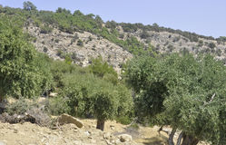 Thassos, 8月19日:从Thassos海岛的橄榄树小树林在希腊 免版税库存照片