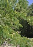 Thassos, am 23. August: Baum-Hintergrund in Theologos-Dorf von Thassos-Insel in Griechenland Stockfoto