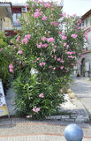Thassos, August 20th: Oleander Flowers in Potos village from Thassos island in Greece Royalty Free Stock Photos