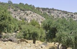 Thassos Augusti 19th: Olivdunge från den Thassos ön i Grekland Royaltyfri Foto