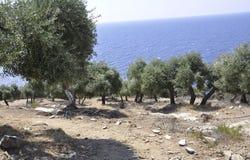 Thassos Augusti 19th: Olivdunge från den Thassos ön i Grekland Royaltyfri Bild