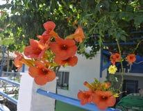 Thassos, 20 Augustus: Exotische Bloemen in Potos-dorp van Thassos-eiland in Griekenland Stock Afbeelding