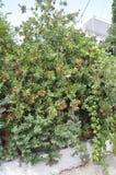 Thassos, 20 Augustus: Exotische Bloemen in Potos-dorp van Thassos-eiland in Griekenland Royalty-vrije Stock Foto