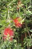 Thassos, 20 Augustus: Exotische Bloemen in Potos-dorp van Thassos-eiland in Griekenland Royalty-vrije Stock Fotografie