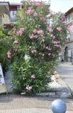 Thassos, 20 Augustus: Oleanderbloemen in Potos-dorp van Thassos-eiland in Griekenland Royalty-vrije Stock Foto's