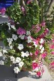 Thassos, 20 Augustus: Petuniabloemen in Potos-dorp van Thassos-eiland in Griekenland Royalty-vrije Stock Afbeelding