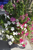 Thassos, 20 Augustus: Petuniabloemen in Potos-dorp van Thassos-eiland in Griekenland Royalty-vrije Stock Fotografie