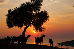 Thassos Greece sun and goat Royalty Free Stock Photos