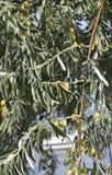 Thassos, Sierpień 20th: Drzewa oliwnego tło w Potos wiosce od Thassos wyspy w Grecja Obraz Royalty Free